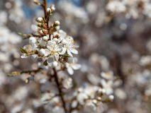 White blossom tree. A white blossom tree at blue sky background Royalty Free Stock Image