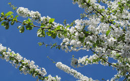 White blossom tree Stock Photography
