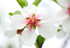 White blossom on tree. Close up of white blossom on tree Royalty Free Stock Photo