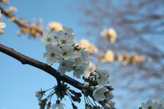 White blossom tree. Close-up of a white blossomtree Royalty Free Stock Photography