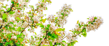 White blossom tree. Close up of tree with white blossom Stock Photo
