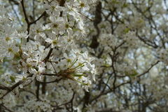 White Blossom Tree. A flowering tree in the midst of Spring Stock Photography