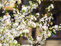 White blossom. Tree at `Iron Wolf Hill` Vilnius Stock Image