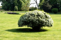 White blossom tree in a park. In france. Perfect material for depicting weddings or celebrations Royalty Free Stock Image