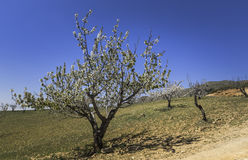 White blossom tree in spain. Tree with white blossom flowering in andalusia in spain Royalty Free Stock Images