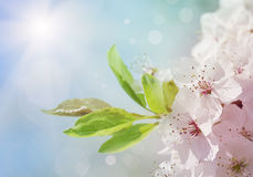 White blossom tree. In spring Stock Photos
