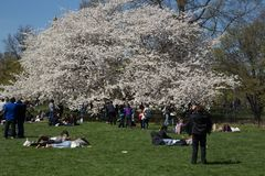 White Blossom Tree. In New York Central Park Stock Image