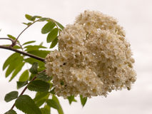 White blossom on a tree with white sky. Macro  of white blossom on a tree in spring Royalty Free Stock Photography