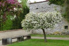 White blossom tree. White blossom wild cherry tree Stock Photography