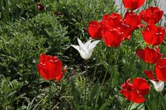 A white blossom with triangular petals. Surrounded by red tulips with green bushes in the backgrund royalty free stock photos