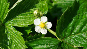 A white blossom of wild strawberry and leaves after rain. Macro. A blossom of wild strawberry and leaves after rain. Raindrops and some insects are visible on Stock Image