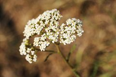 White blossom of yarrow from close-up. Achillea millefolium. Bokeh background stock photography