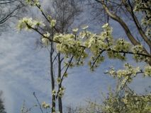 White tree blossom. White blossom and young buds on a tree in spring Royalty Free Stock Images