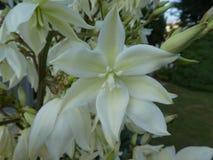 White blossom of a yucca flower stock photos