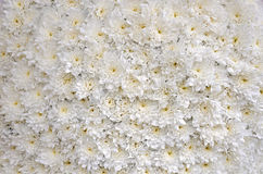 White blossomed chrysanthemums. Close up of white blossomed chrysanthemums bedding Royalty Free Stock Image
