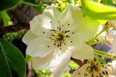 Blooming pear, white blossomed flower close up. stock photo