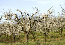 White blossoming apple trees Royalty Free Stock Images