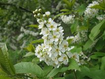 White blossoming of bird cherry tree Royalty Free Stock Photography