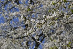 White blossoming branch. Twig blossoming spring white cherry Stock Image