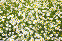 White blossoming camomiles Royalty Free Stock Photo
