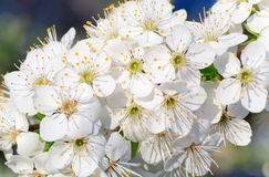 White blossoming cherry tree twig Stock Image