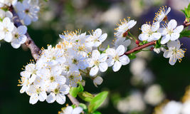 White blossoming cherry tree twig Stock Photography