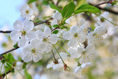 White blossoming cherry tree twig Stock Photos