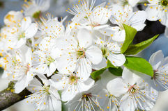 White blossoming cherry tree twig Stock Photo