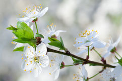 White blossoming cherry tree twig Royalty Free Stock Photo
