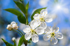White blossoming cherry tree twig Royalty Free Stock Photos