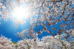 White blossoming cherry trees framing the nice blue sky. With the sun stock photography
