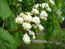White blossoming chestnut tree branch Royalty Free Stock Image