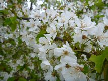 White blossoming chestnut tree branch Stock Images