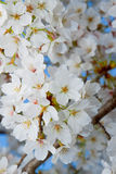 White blossoming flowers Royalty Free Stock Photo