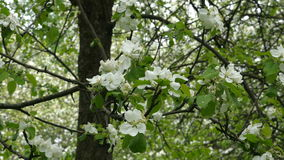 White blossoming flowers on apple tree branch blowing in the wind stock video