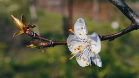 White blossoming flowers on apple tree branch blowing in the wind stock video footage