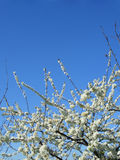 White blossoming flowers on tree, vertical royalty free stock photos