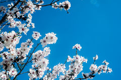 White blossoming tree against the blue sky Royalty Free Stock Photo