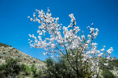 White blossoming tree against the blue sky Stock Photo