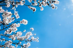 White blossoming tree against the blue sky Stock Image