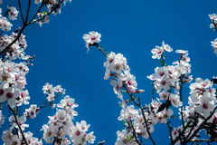 White blossoming tree against the blue sky Stock Images