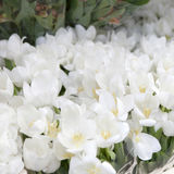 The White blossoming tulips for sale Royalty Free Stock Photos