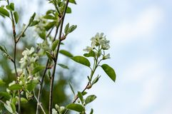 White blossoms of Amelanchier canadensis, serviceberry, shadberry or June berry tree on blue sky background. Selective focus. Nature concept for natural design royalty free stock photography