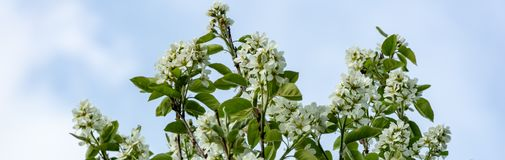 White blossoms of Amelanchier canadensis, serviceberry, shadberry or June berry tree on blue sky background. Selective focus. Nature concept for natural design stock images