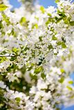White blossoms of apple tree Royalty Free Stock Image