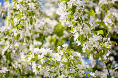 White blossoms of apple tree Royalty Free Stock Photography