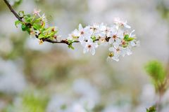 White blossoms of an apple tree in spring Stock Images