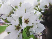 White blossoms Royalty Free Stock Images