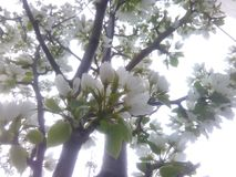 White blossoms Stock Photos