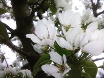 White blossoms Royalty Free Stock Photography